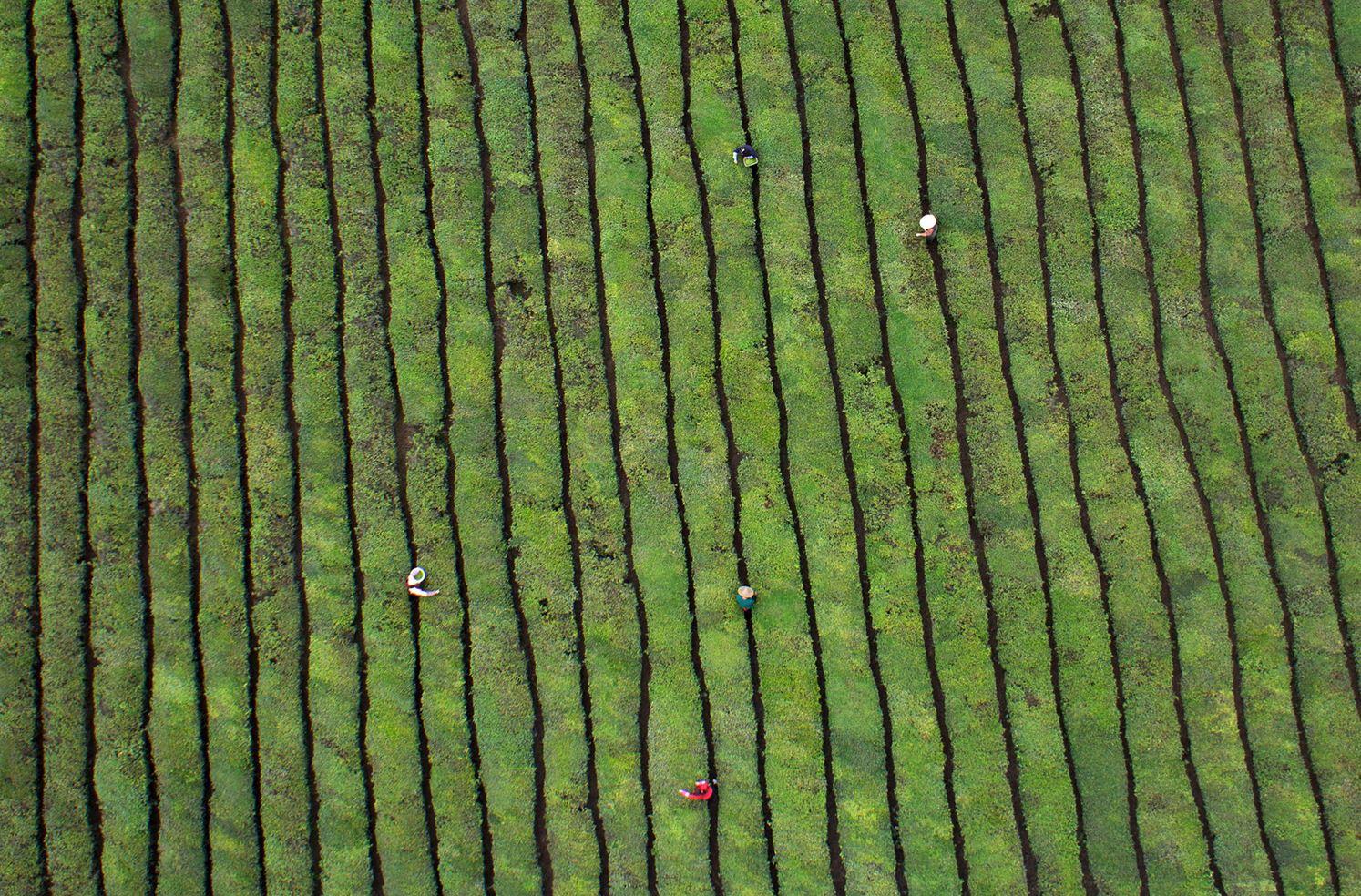 Чайная плантация в пр. Чжэцзян.