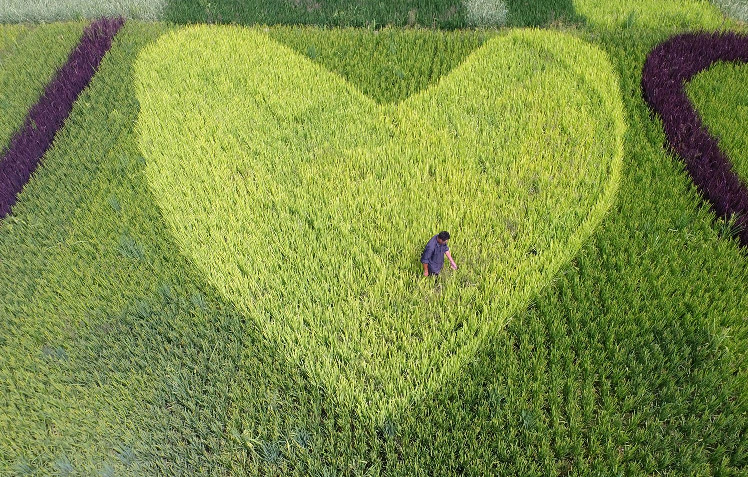 Рис, посаженный в виде сердечка. Г. о. Тайчжоу, пр. Чжэцзян.